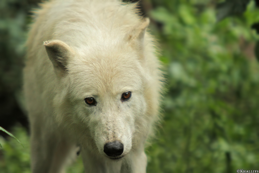Wolf_Duis1308-02