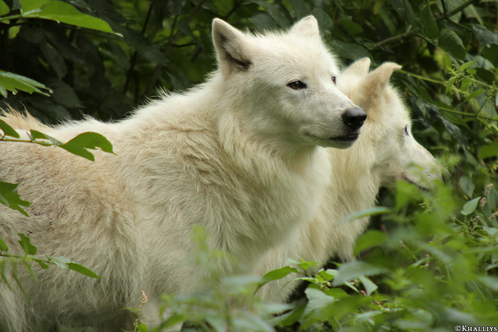 Wolf_Duis1308-05