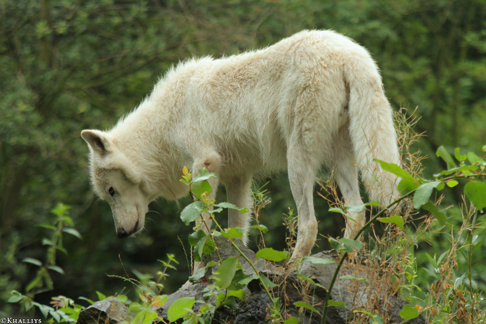 Wolf_Duis1308-09