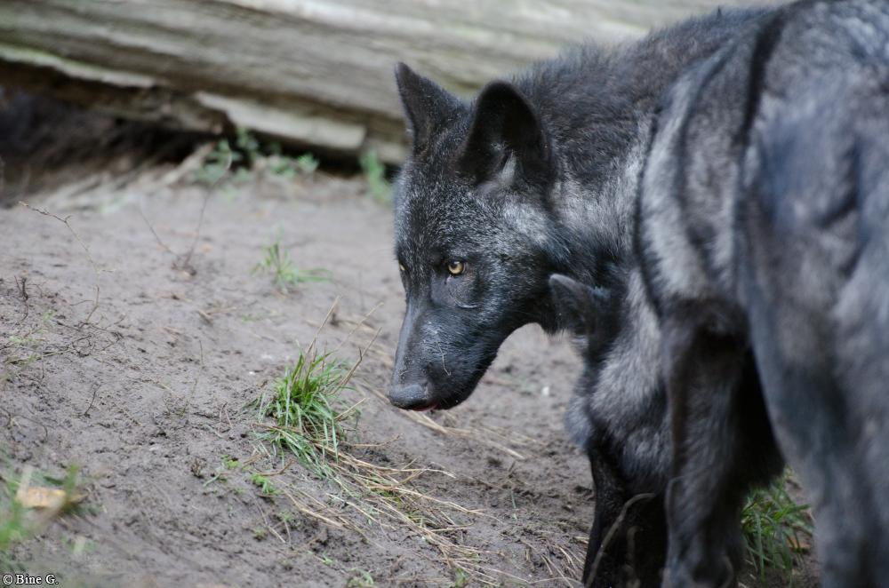 Pup5m13LueneburgBineG_black-25