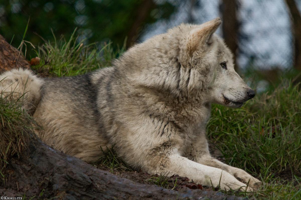 Wolf_Dub1501-Tahni-04