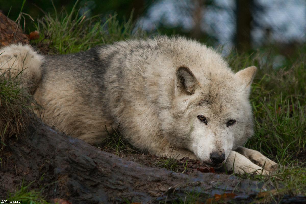 Wolf_Dub1501-Tahni-05