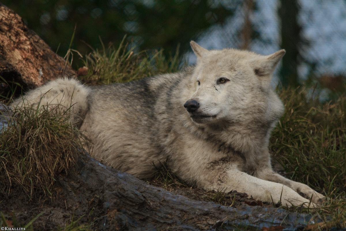Wolf_Dub1501-Tahni-06