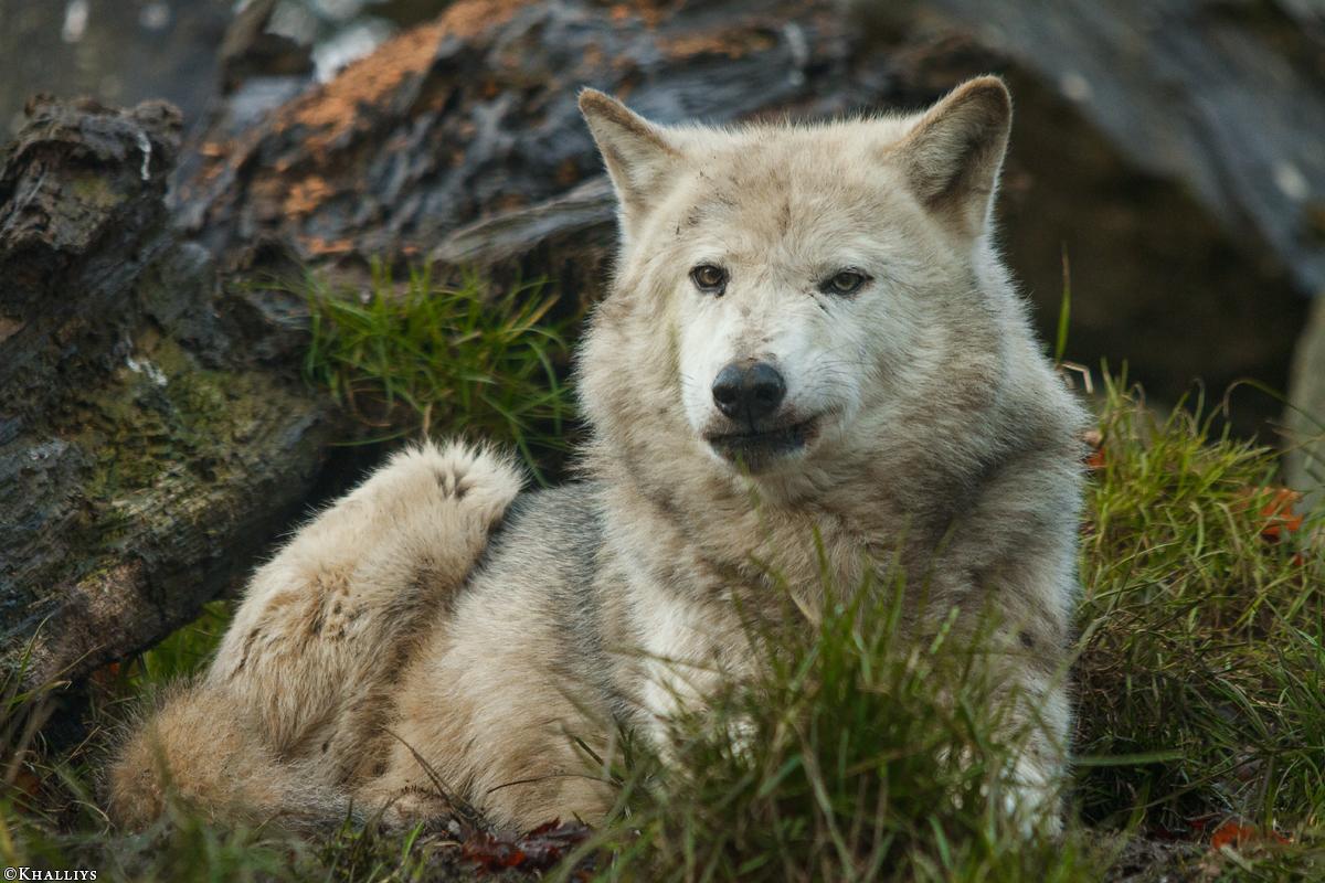 Wolf_Dub1501-Tahni-08