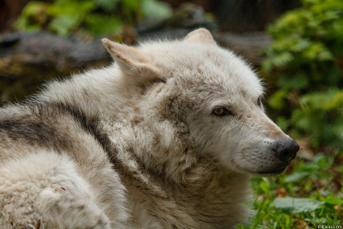 Wolf_Dub1505-Chetan-01