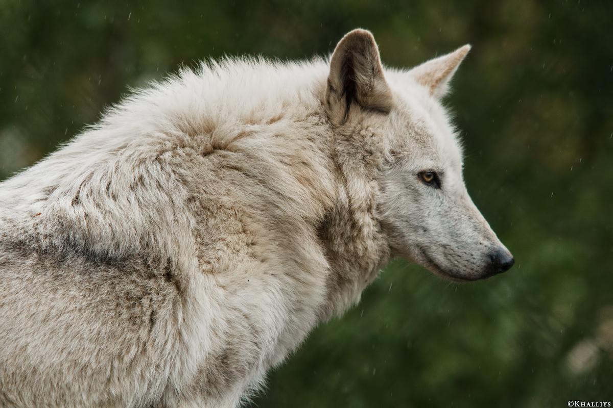 Wolf_Dub1505-Leikun-03