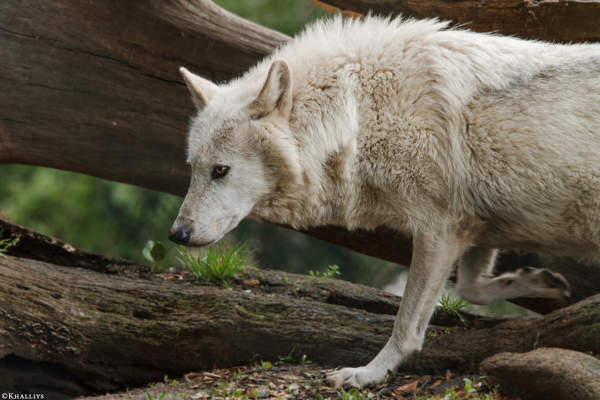 Wolf_Dub1505-Leikun-04