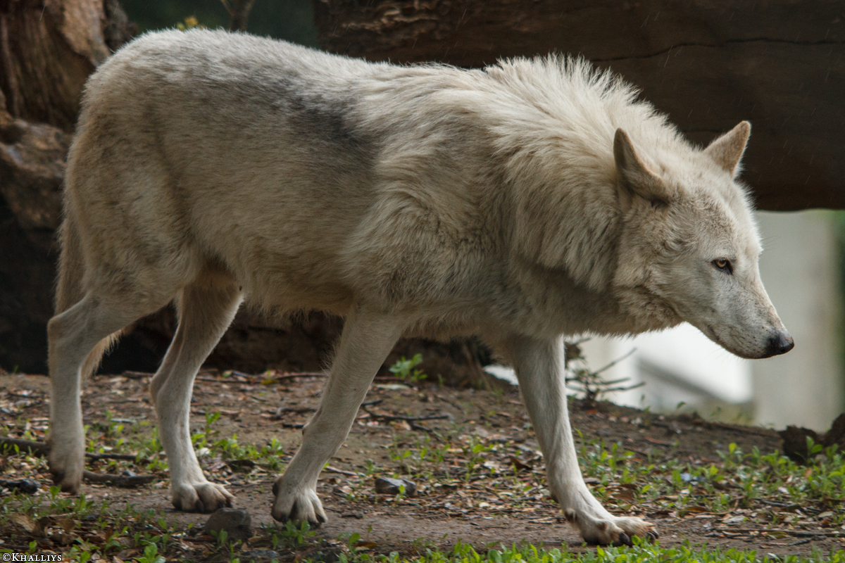 Wolf_Dub1505-Leikun-05