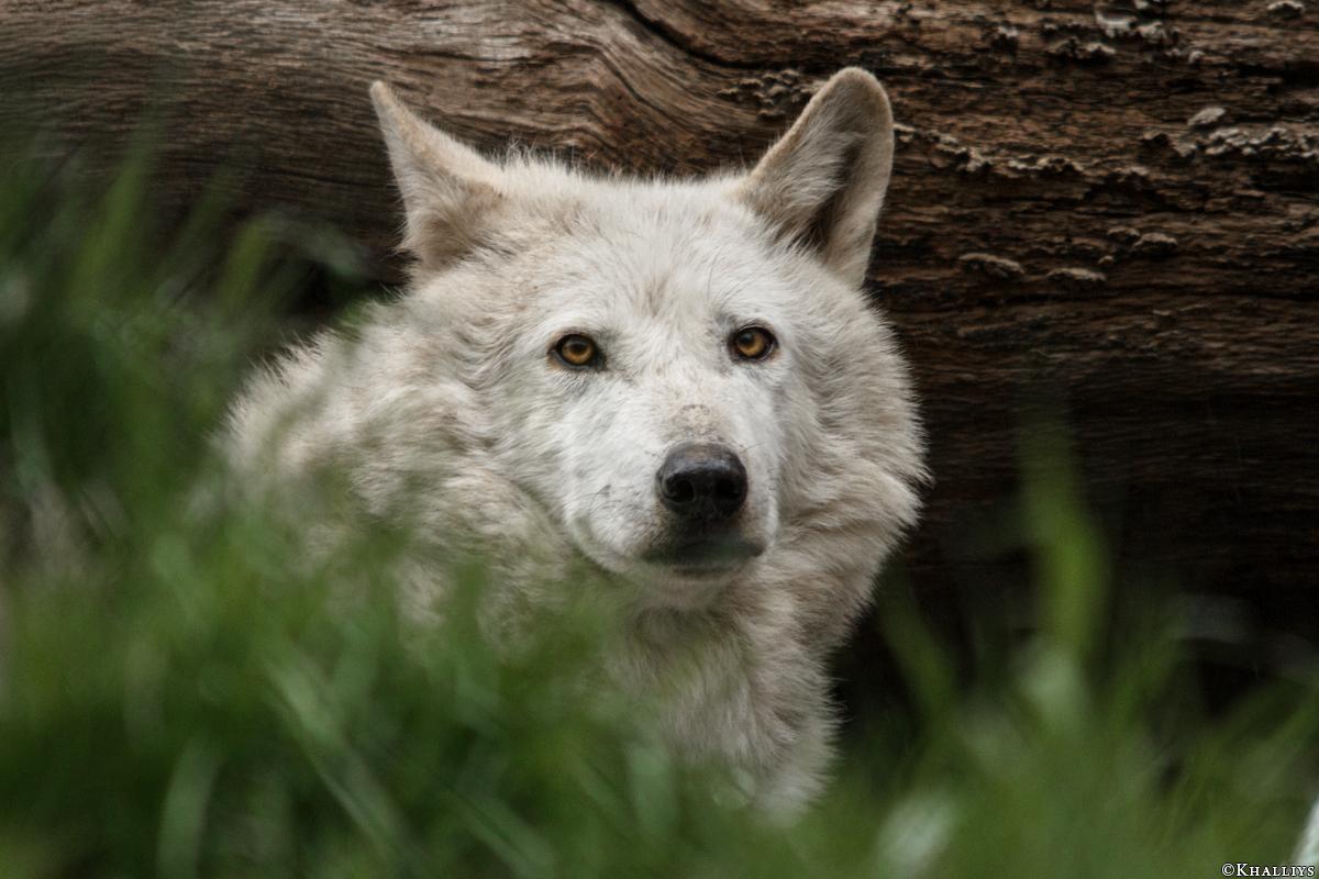Wolf_Dub1505-Leikun-06