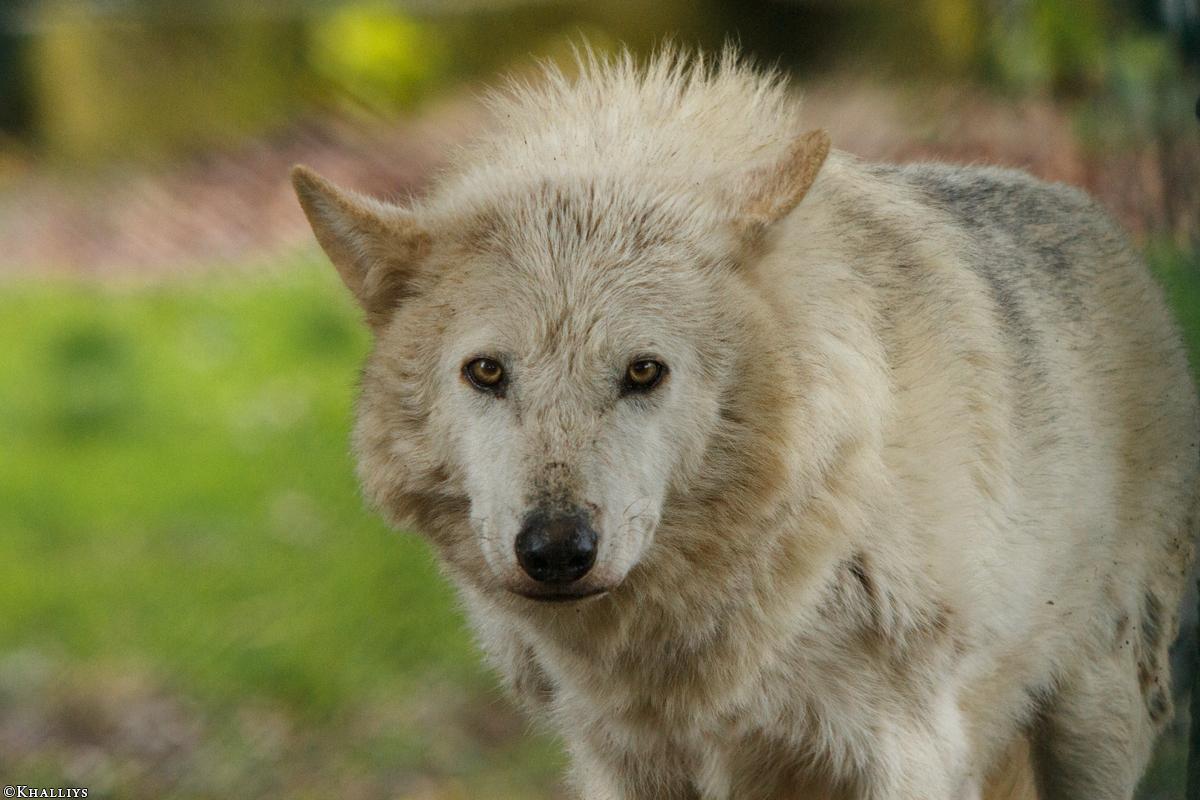 Wolf_Dub1505-Leikun-08