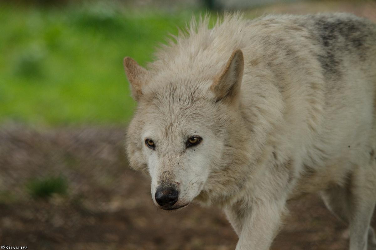 Wolf_Dub1505-Leikun-09