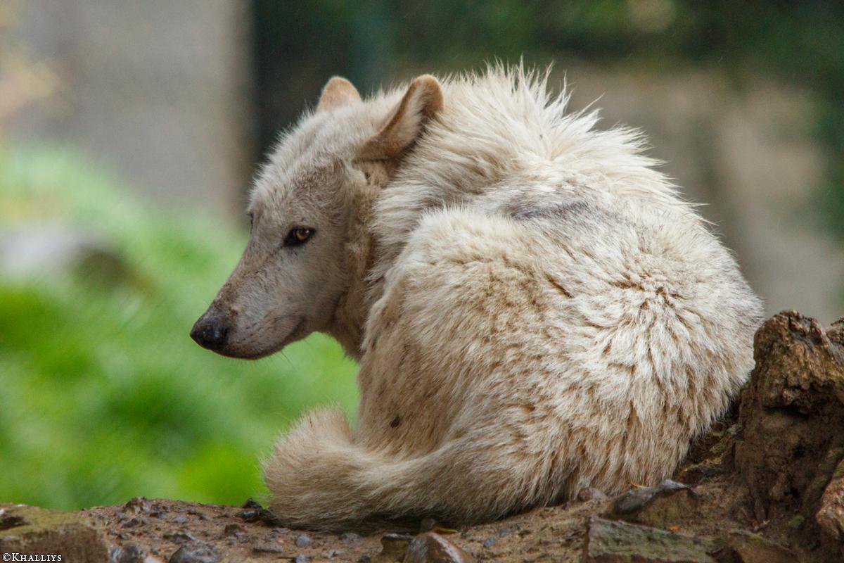 Wolf_Dub1505-Leikun-13