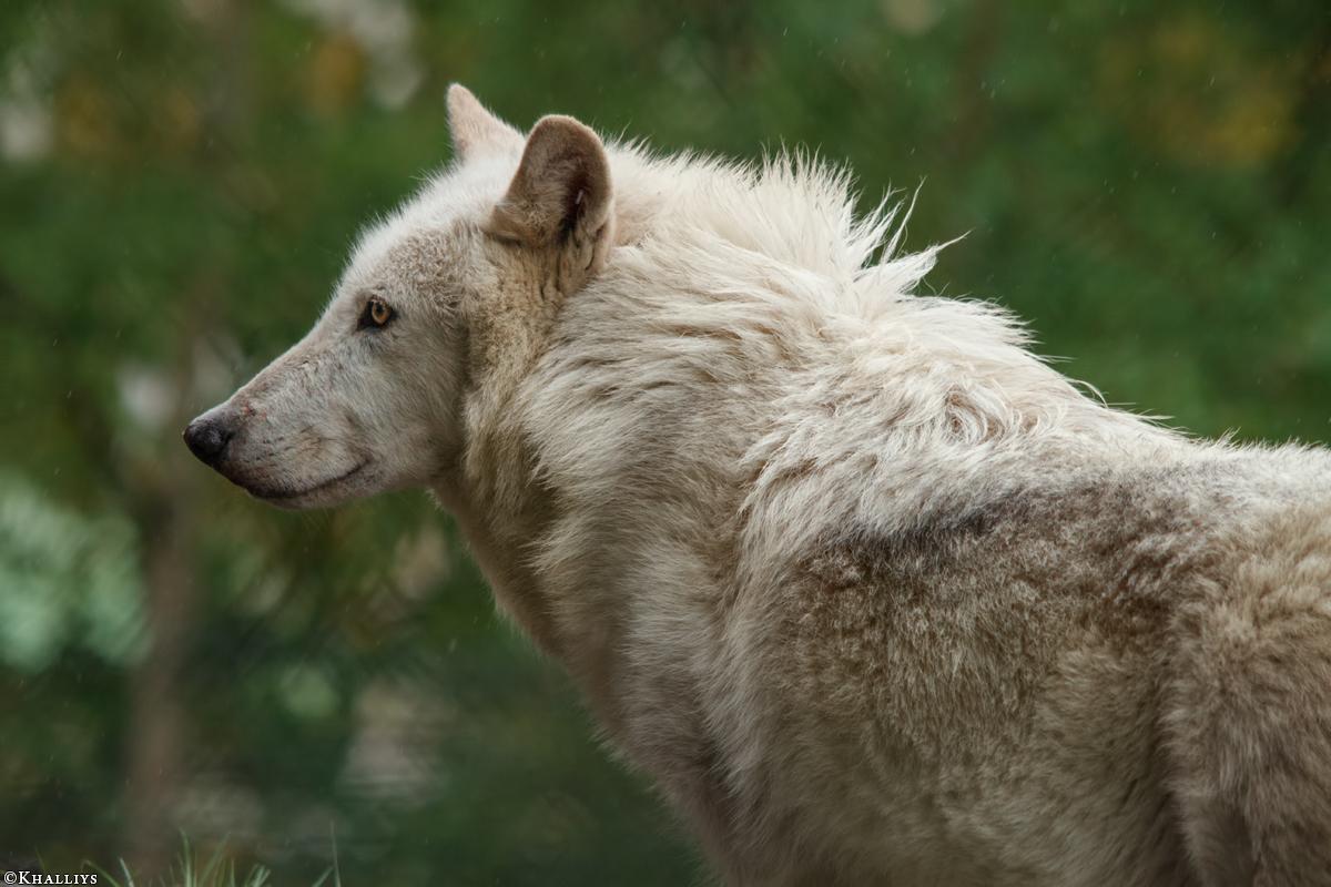Wolf_Dub1505-Leikun-18