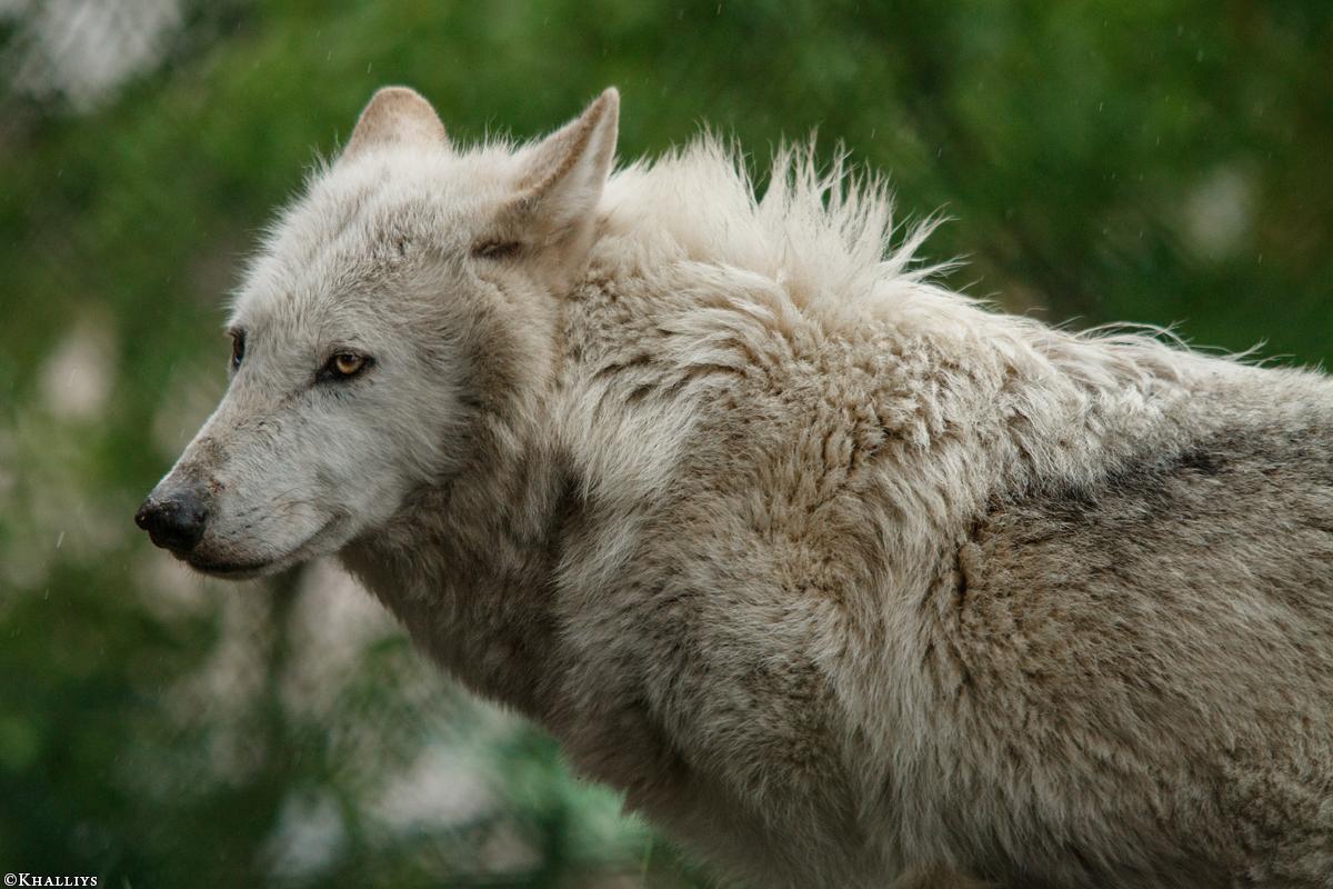 Wolf_Dub1505-Leikun-19