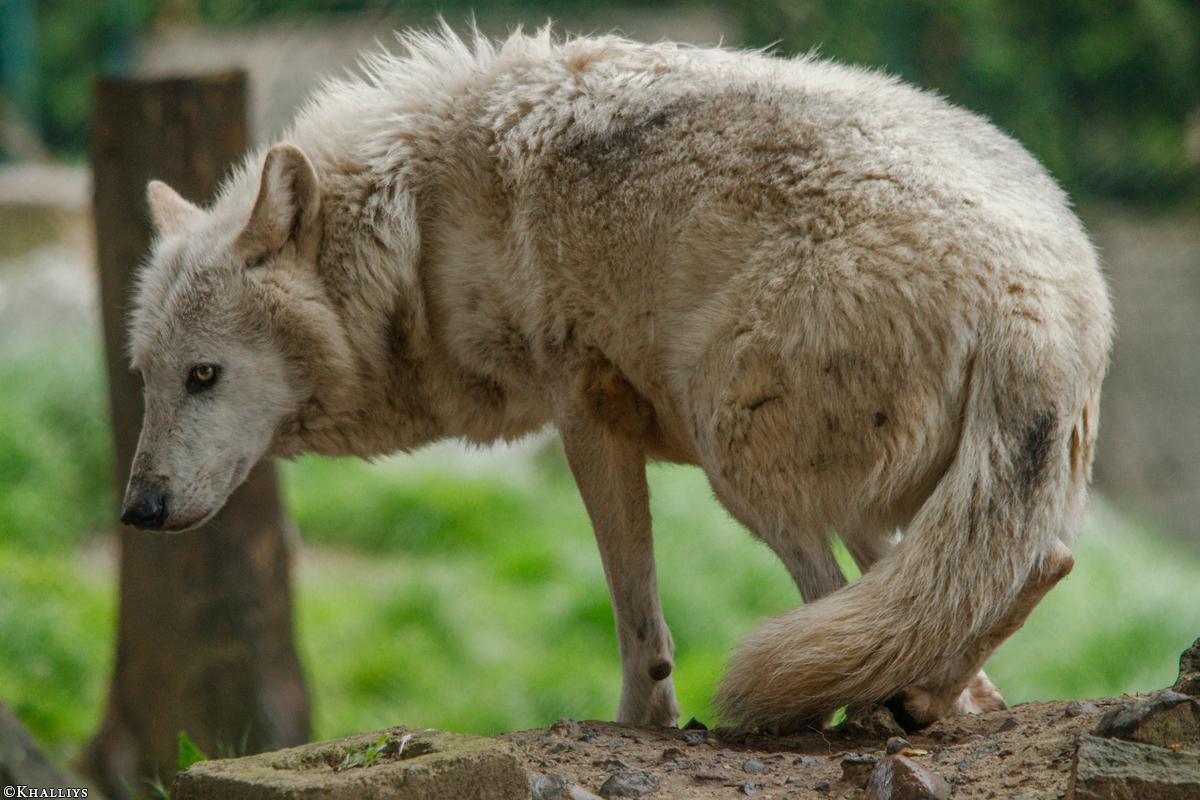 Wolf_Dub1505-Leikun-21