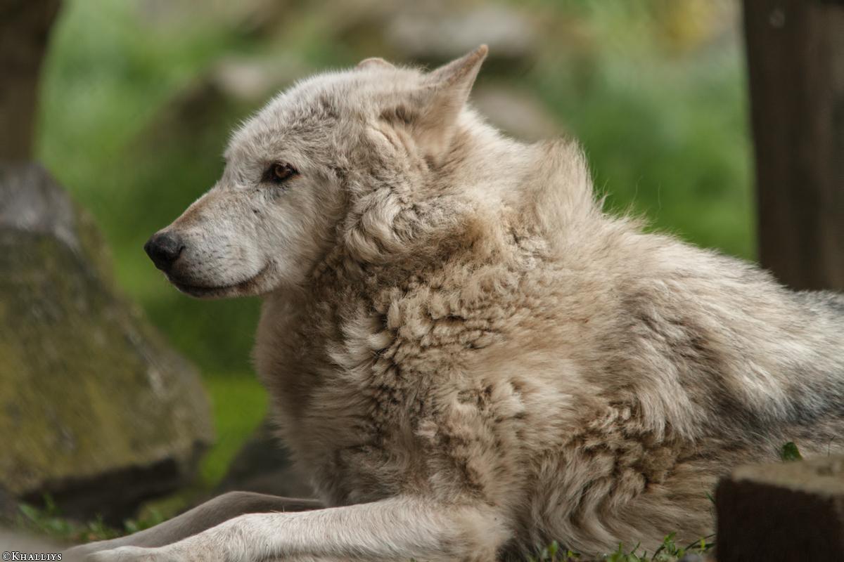 Wolf_Dub1505-Motomo-01