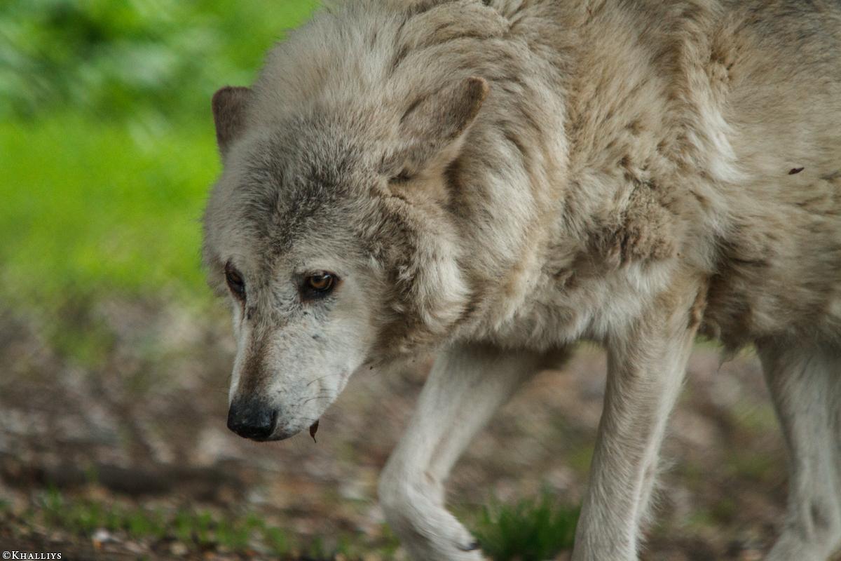 Wolf_Dub1505-Motomo-02