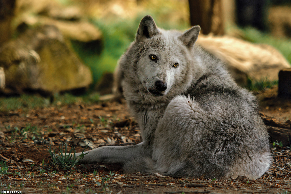 Wolf_Dub1505-Tahni-02