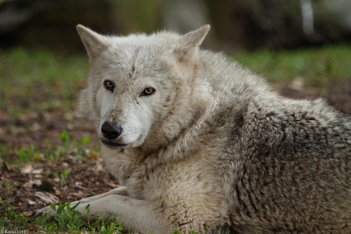 Wolf_Dub1505-Tahni-05
