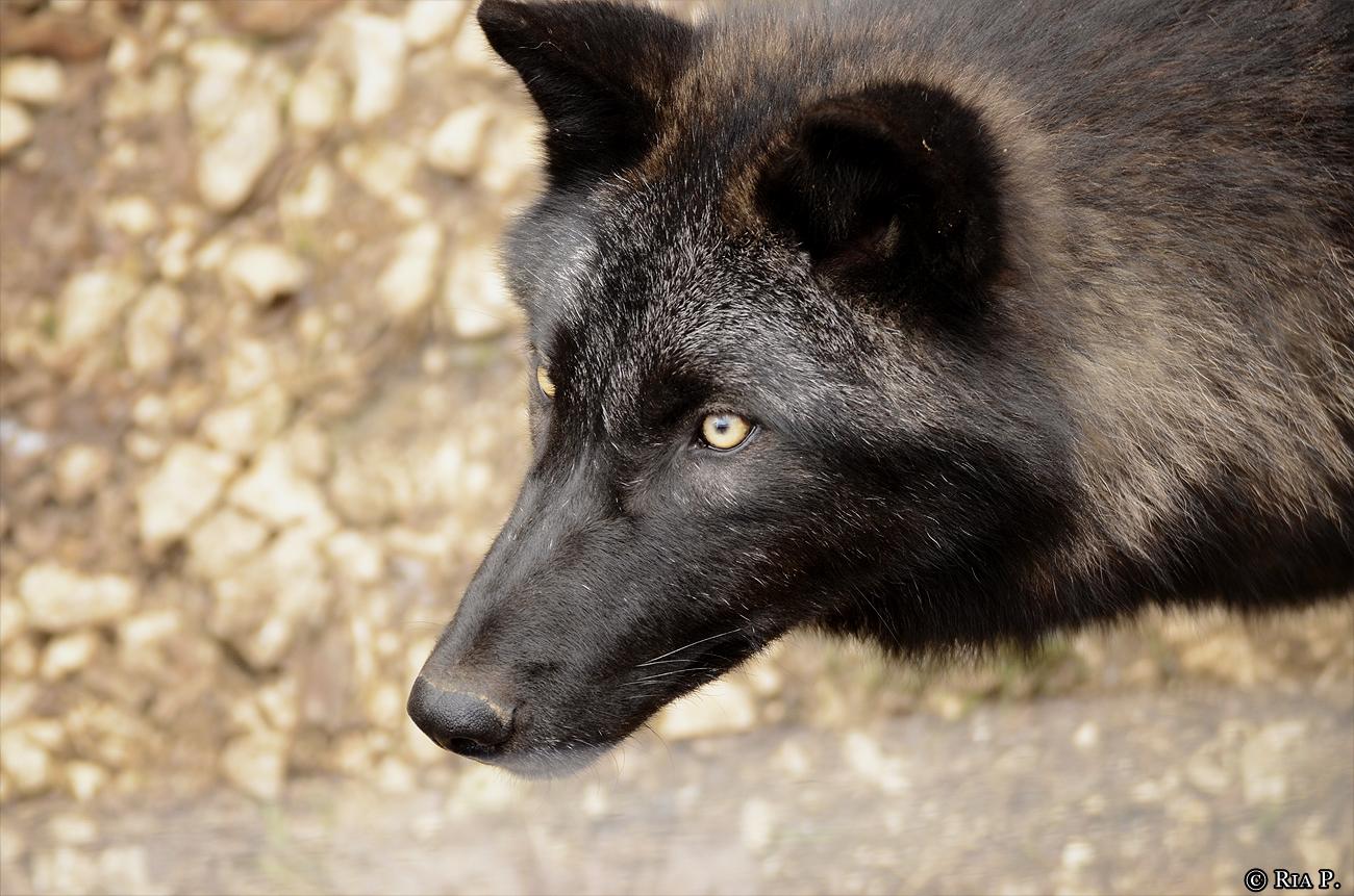 WolfScienceCenter1201Ria_Wamblee-01