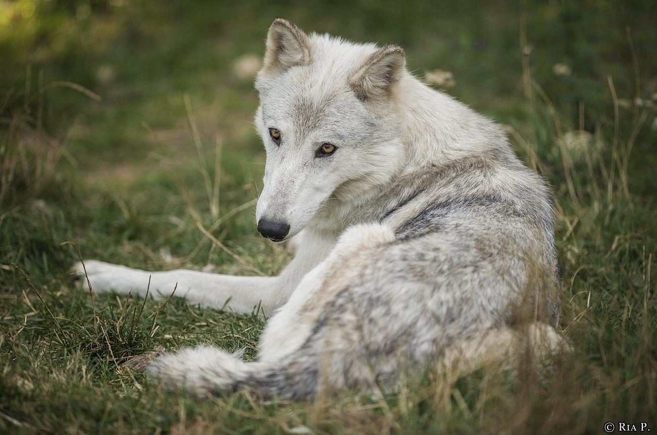 WolfScienceCenter1708Ria_Una-03