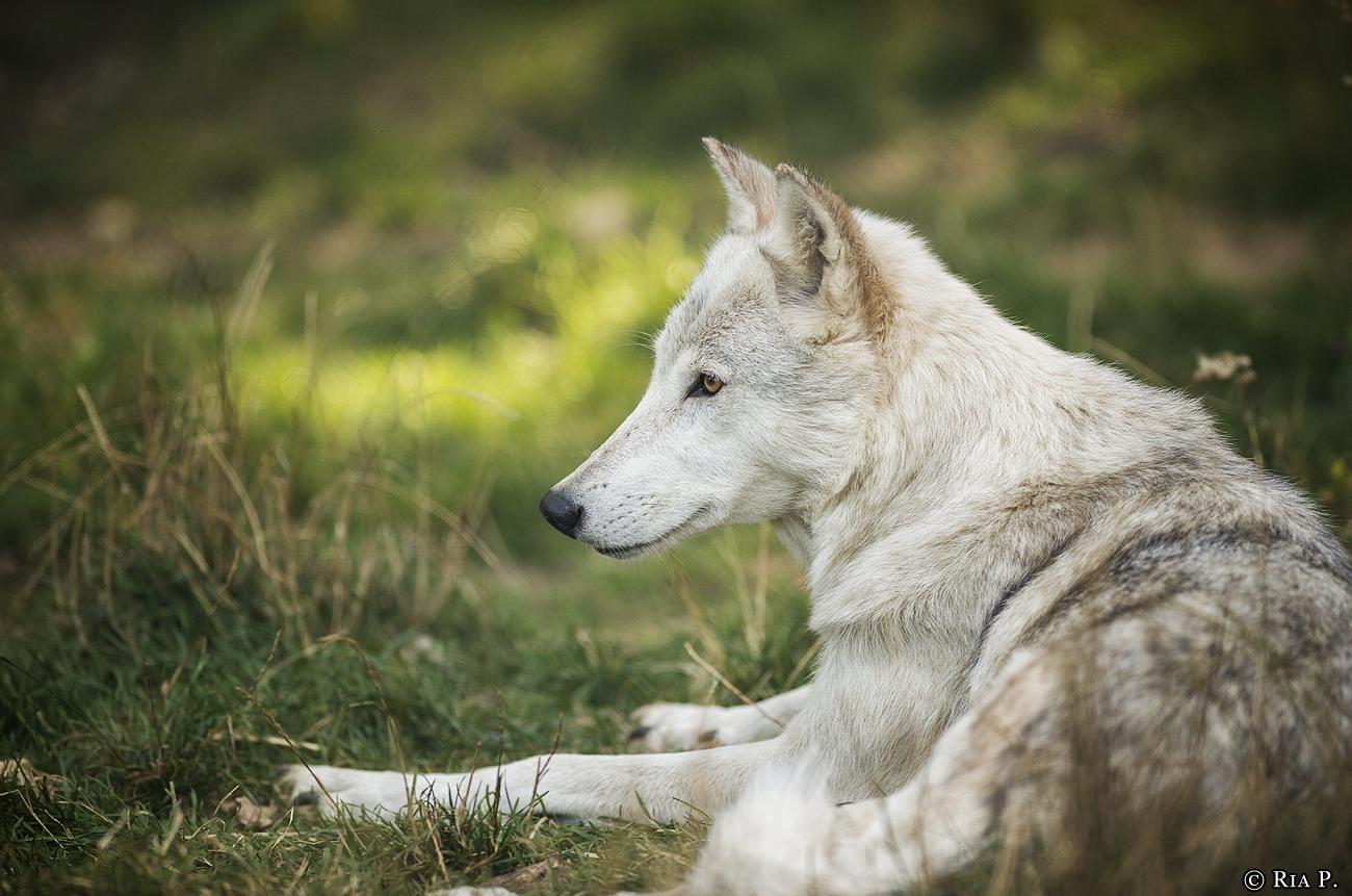 WolfScienceCenter1708Ria_Una-04