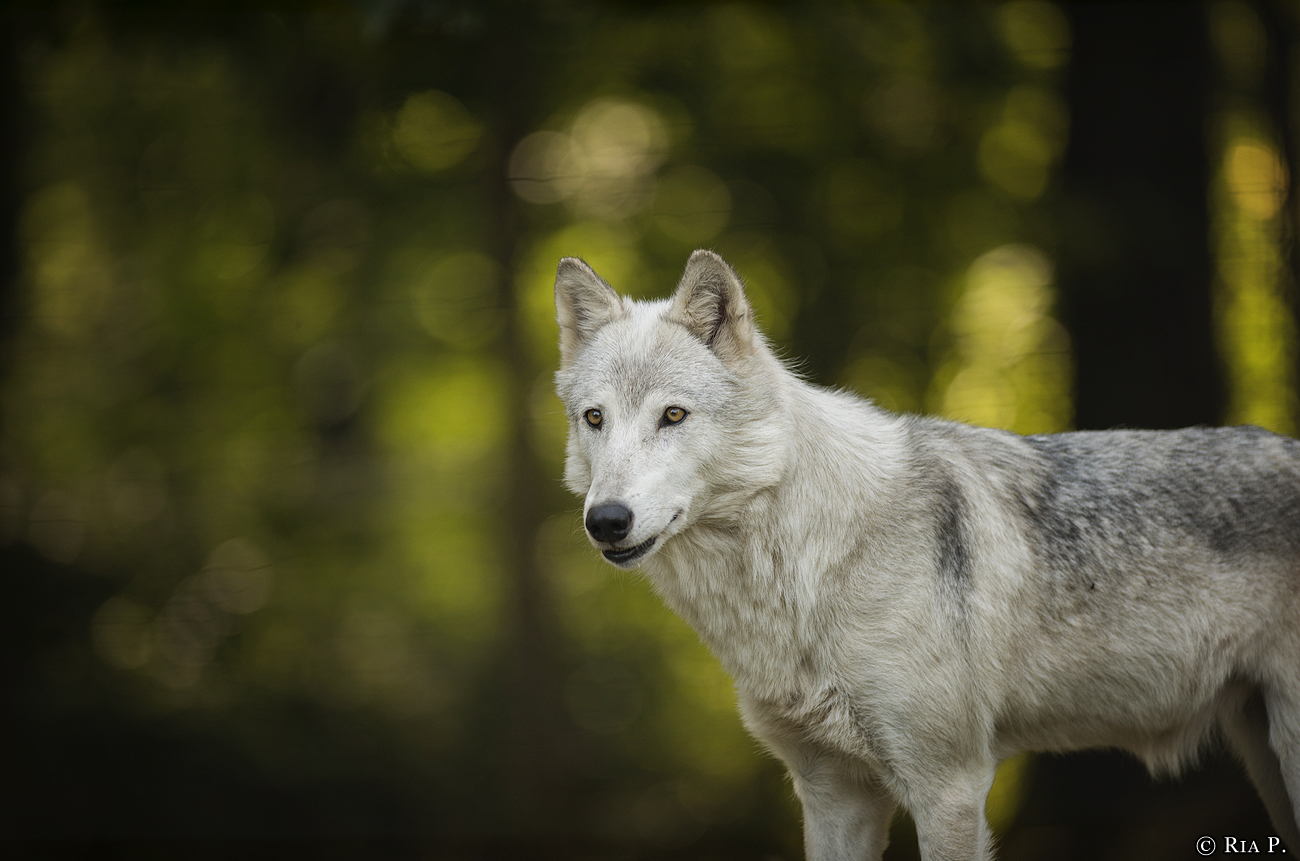 WolfScienceCenter1708Ria_Una-06