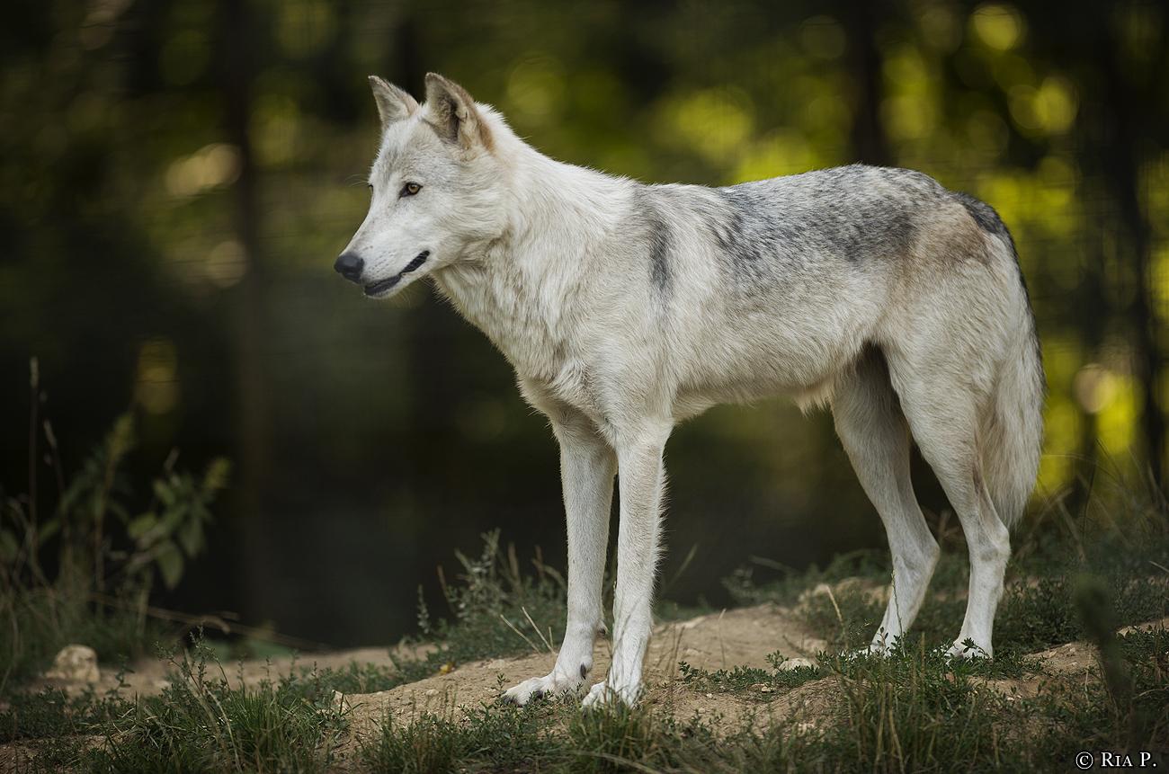 WolfScienceCenter1708Ria_Una-11