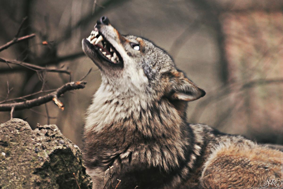 японца фото с головой волка стране будет порядок