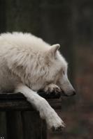 Wolf_Auh1112-Khan-01
