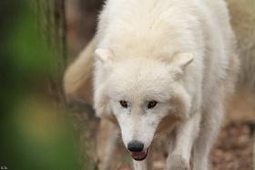 Wolf_Auh1112-Khan-02