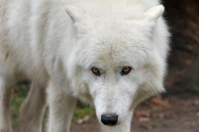 Wolf_Auh1112-Sco-01