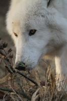 Wolf_Auh1112-Sco-03