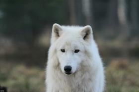 Wolf_Auh1112-Sco-04