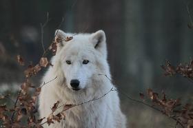 Wolf_Auh1112-Sco-05
