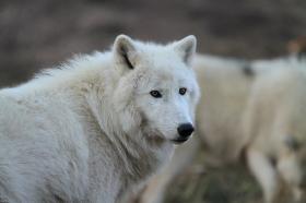 Wolf_Auh1112-Sco-06