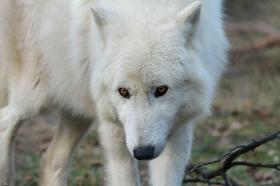 Wolf_Auh1112-Sco-07