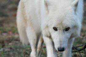 Wolf_Auh1112-Sco-08
