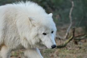 Wolf_Auh1112-Sco-09