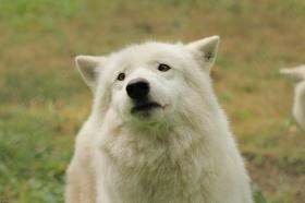Wolf_Auh1209-Khan-02