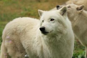 Wolf_Auh1209-Khan-03