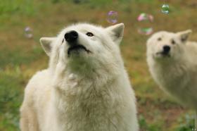 Wolf_Auh1209-Khan-04