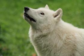 Wolf_Auh1209-Khan-05