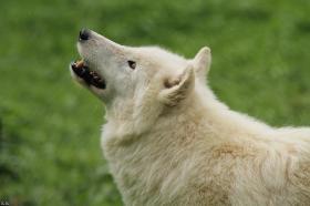 Wolf_Auh1209-Khan-06