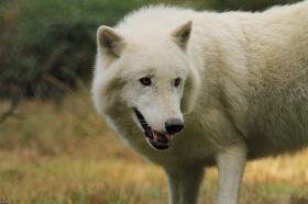 Wolf_Auh1209-Khan-08
