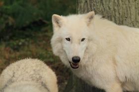 Wolf_Auh1209-Khan-09