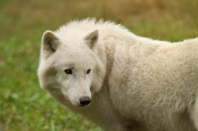 Wolf_Auh1209-Khan-15