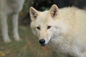 Wolf_Auh1209-Mon-15
