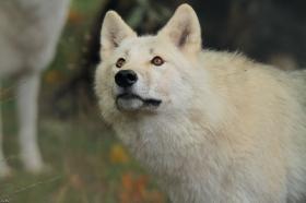 Wolf_Auh1209-Mon-16