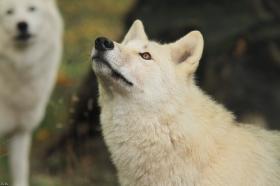 Wolf_Auh1209-Mon-17
